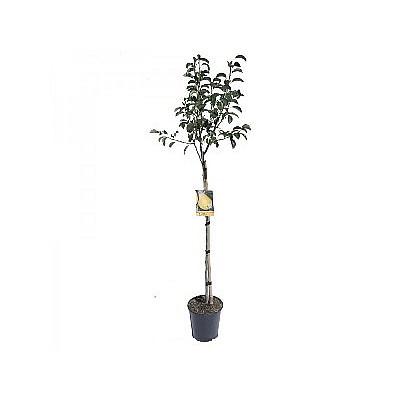 Φυτό Αχλαδιά