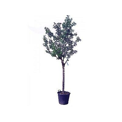 Φυτό Βερύκοκο