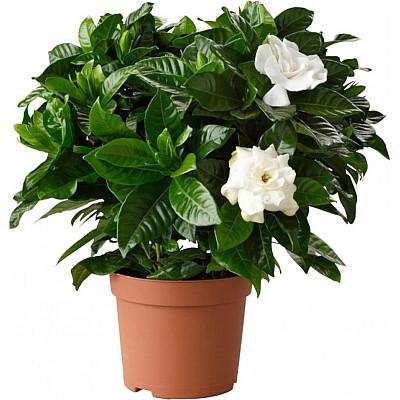 Φυτό γαρδένια