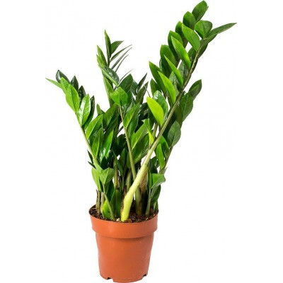 Φυτό Ζαμιοκούλκας