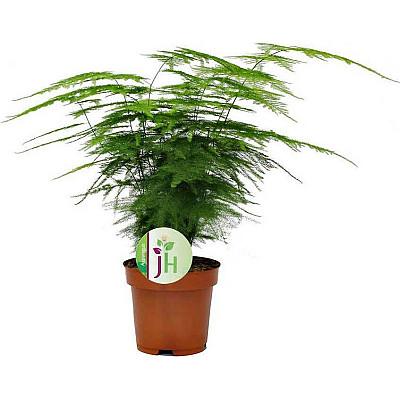 Φυτό Ασπάραγγος (Asparagus setaceus)