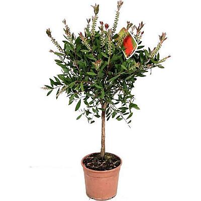 Φυτό Καλλιστήμονας